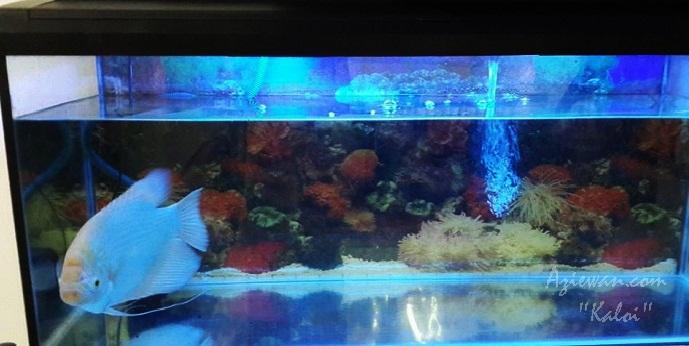 Ikan Kaloi dan Aquarium Baru