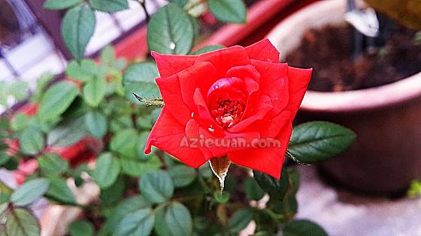 Cara Jaga Pokok Bunga Rose Mawar